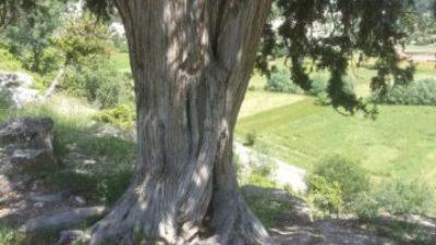 Ağaç Define İşareti Anlamı, Ağaçtaki Çiviler
