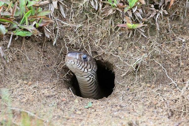 define kazı yılan çıkması